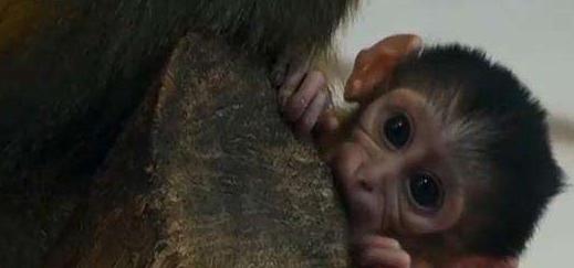 匈牙利:一動物園迎來罕見金腹白眉猴幼崽
