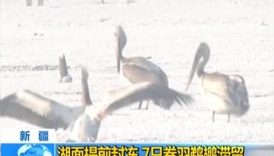 新疆:湖面提前封凍 7只卷羽鵜鶘滯留