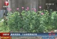 千余株罌粟藏身菜園地被鏟除