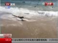 美國海岸附近驚現群鯊集體捕食場面