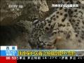 珠峰保護區首次拍攝到野外雪豹