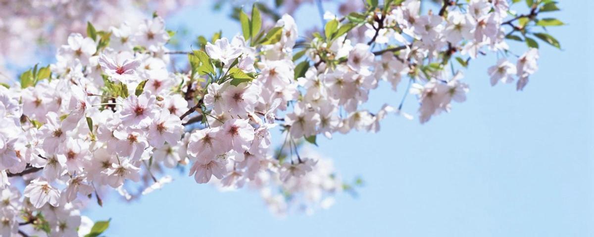 新華VR探訪鶴壁櫻花節 與春天來一場浪漫約會