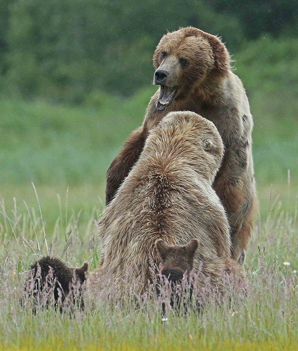 "Ƒ""影师镜头下熊妈妈肩扛熊崽的暖心瞬间 Ç»""å›¾ Ɩ°åŽç½'"
