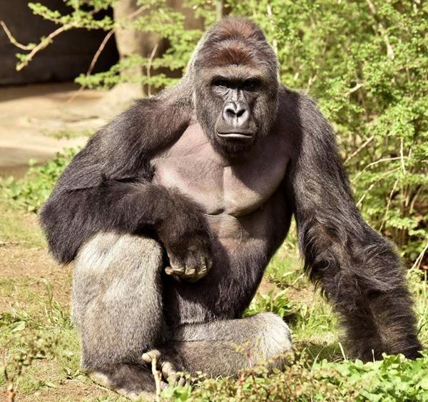 图为美国动物园被射杀的大猩猩哈兰贝,它今年17岁。   美国俄亥俄州辛辛那提动物园因救男童杀死大猩猩哈兰贝(Harambe)一事,引起社会广泛争议。据英国路透社6月2日报道,该动物园工作人员称已收集大猩猩哈兰贝的精液样本,这意味死去的哈兰贝今后还可能通过人工手段繁衍后代。   不过,美国政府负责监管动物园繁殖问题的一些官员表示,尽管哈兰贝的精液样本已被收入国家稀有及濒危物种基因资料库,但它的精液几乎不可能用于繁殖后代。   在美国动物园和水族馆协会负责大猩猩物种生存计划的克里斯滕 卢卡斯6月1日说,目前