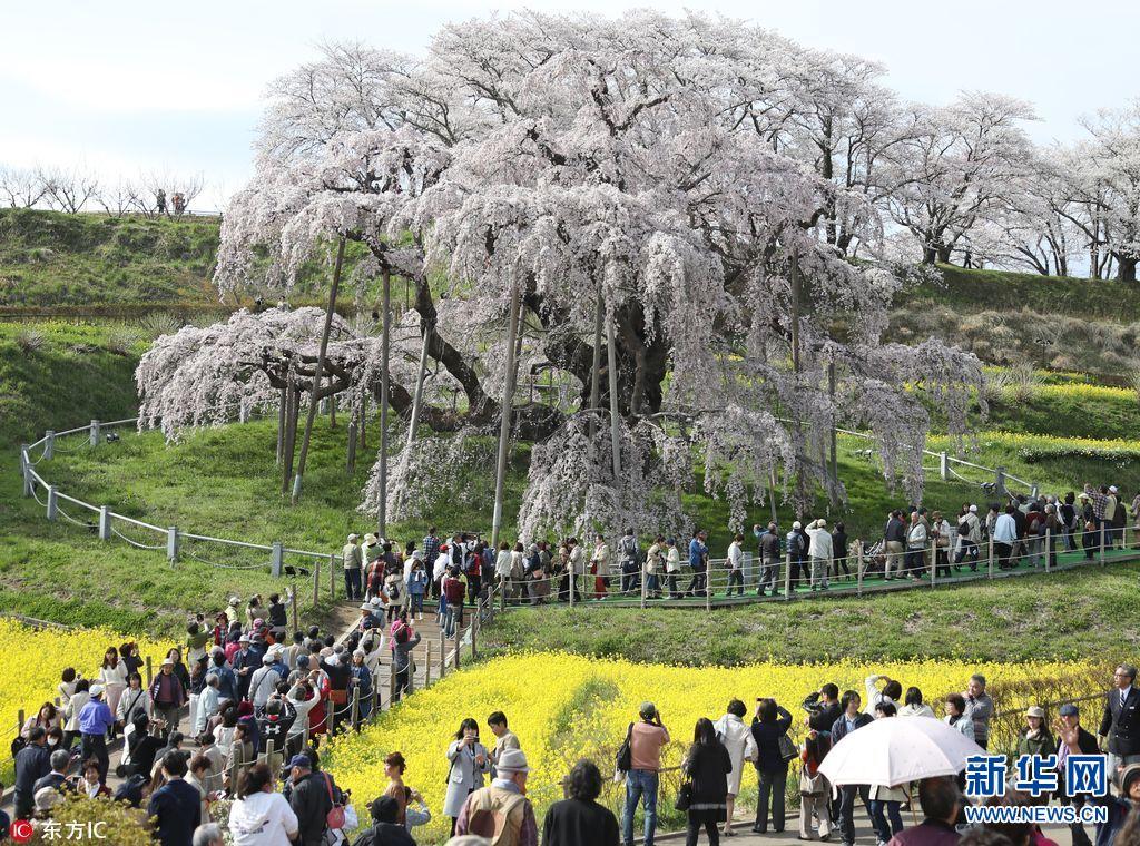 日本福岛千年樱花树开花 引大批游客观赏(组图)