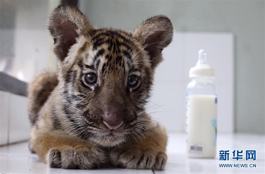 这是2017年1月16日,在印度尼西亚巴厘岛的动物园,一只两个月大的