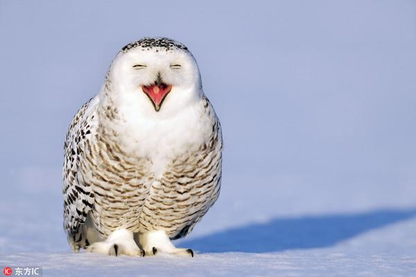 【标准仙女笑!】2012年1月,美国华裔摄影师Su Keren在加拿大马德莱娜群岛拍摄到了一头海豹宝宝,这只海豹宝宝满面微笑地晒着太阳,十分可爱。  【伙计们腾个地儿,我来啦!】2012年4月12日,美国Pembroke,大雪中小鸟们栖息在树枝上。  【嘿嘿嘿!】2012年12月17日,冰天雪地的加拿大,一只猫头鹰貌似是在利用这样的天气条件练习自己的溜冰技巧。  【宝宝有点小委屈】2013年10月,加拿大,一只海豹宝宝在雪地中,委屈巴巴的样子惹人怜爱。  【好冷呀,我先躲一哈!】2013年12月,美国明