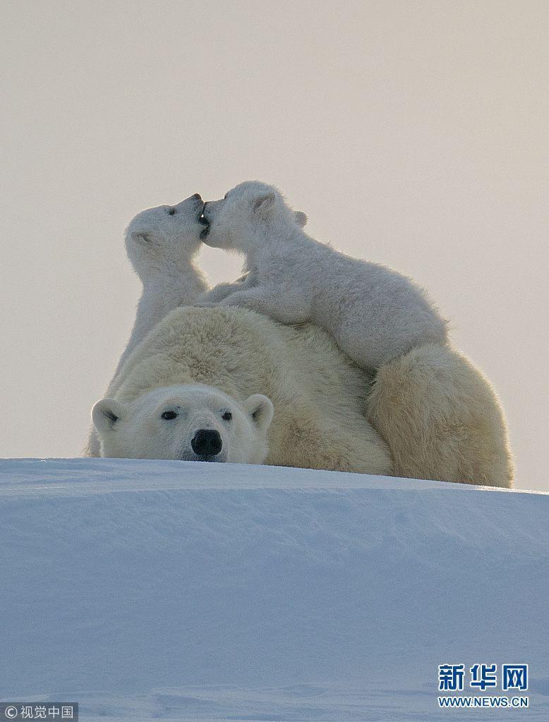 甜蜜时刻!加拿大北极熊幼崽在母亲背上亲吻