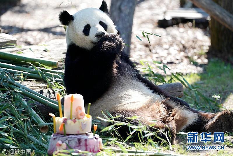 """旅德大熊猫""""娇庆""""在柏林迎来八岁生日"""