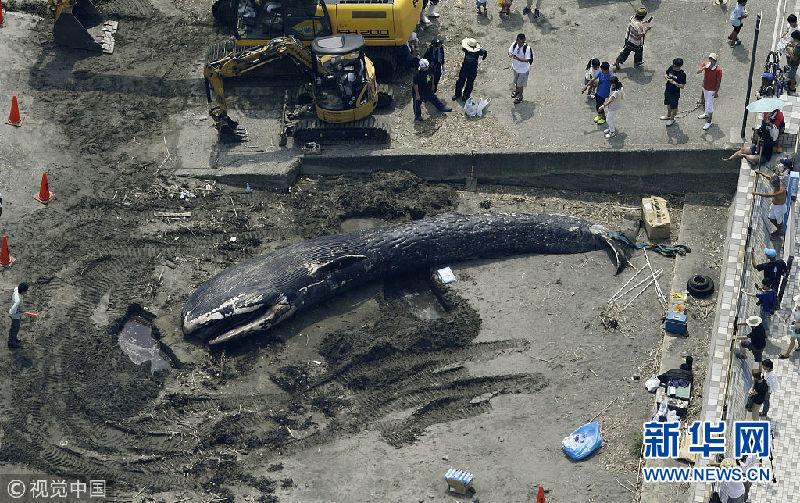 日本发现蓝鲸遗骸 被证实为蓝鲸幼崽