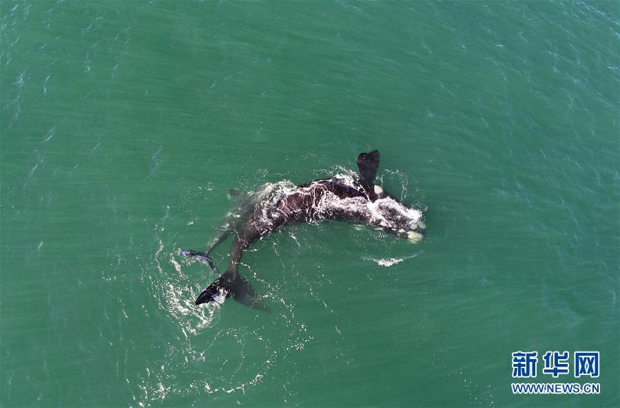 (國際)(1)第27屆鯨魚節南非赫曼紐斯開幕
