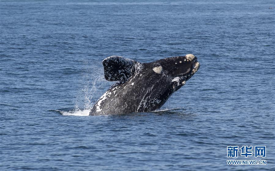 (國際)(2)第27屆鯨魚節南非赫曼紐斯開幕