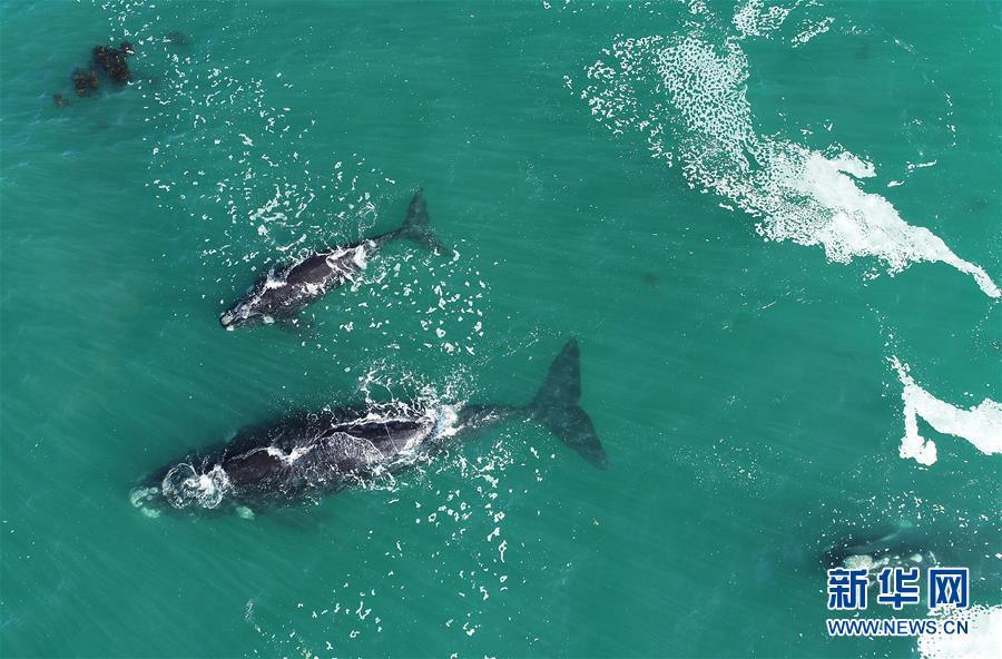 (國際)(3)第27屆鯨魚節南非赫曼紐斯開幕