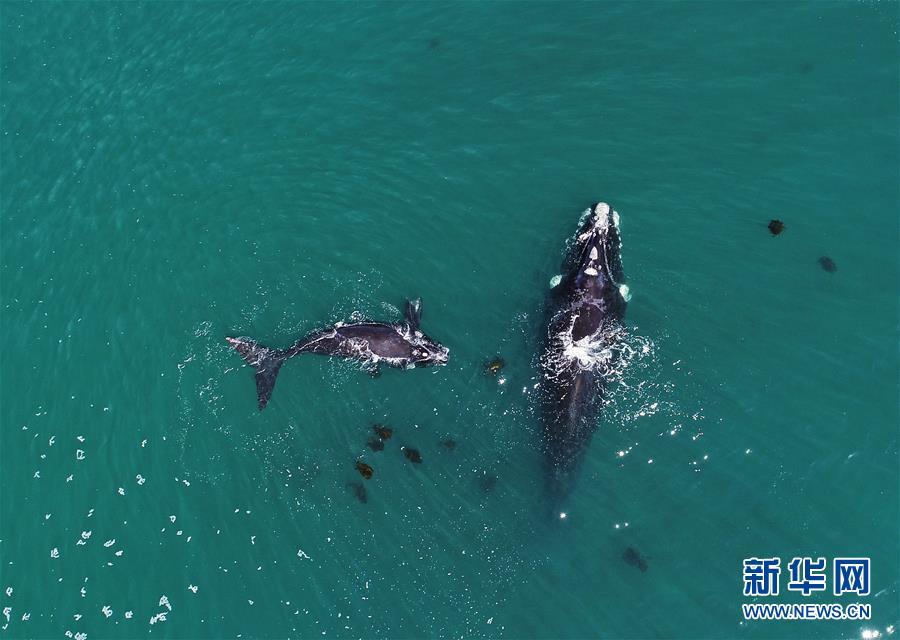 (國際)(4)第27屆鯨魚節南非赫曼紐斯開幕