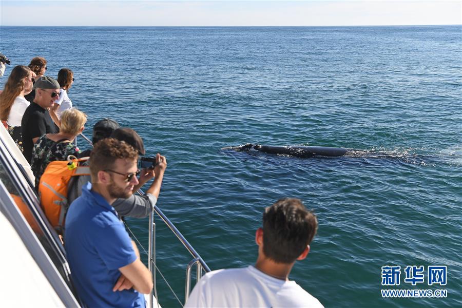 (國際)(6)第27屆鯨魚節南非赫曼紐斯開幕