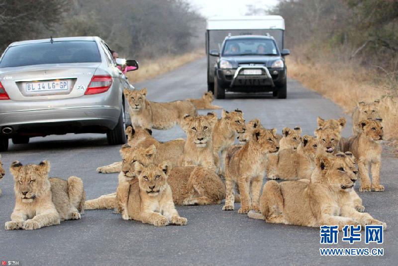南非狮群趴路中间休息变为无形路障