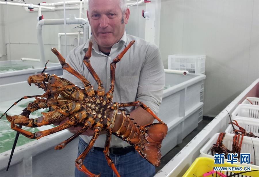 (国际)(1)新西兰龙虾出口商瞄准中国线上市场