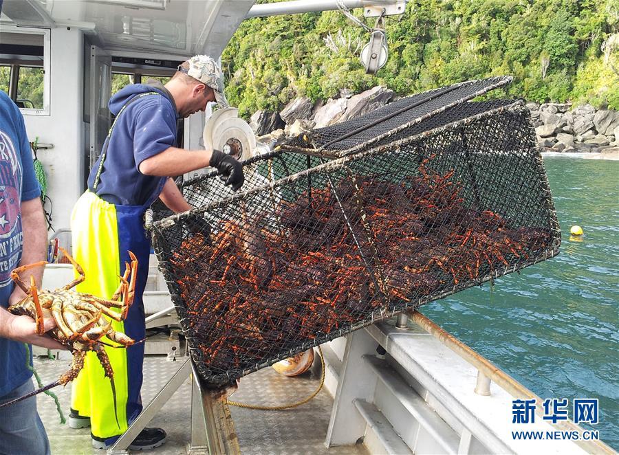 (国际)(2)新西兰龙虾出口商瞄准中国线上市场