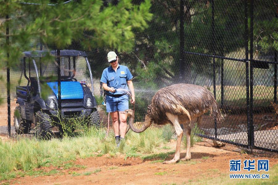 1月7日,在澳大利亚堪培拉的国家动物园,一名工作人员给鸵鸟冲凉。 7日,记者在位于首都堪培拉的国家动物园看到,树袋鼠在喷泉中戏水,老虎吃上了冰激凌,鸵鸟享受冲凉的待遇澳大利亚近日遭遇热浪袭击,动物园想尽办法帮助动物们消暑。 新华社发(潘翔越摄)
