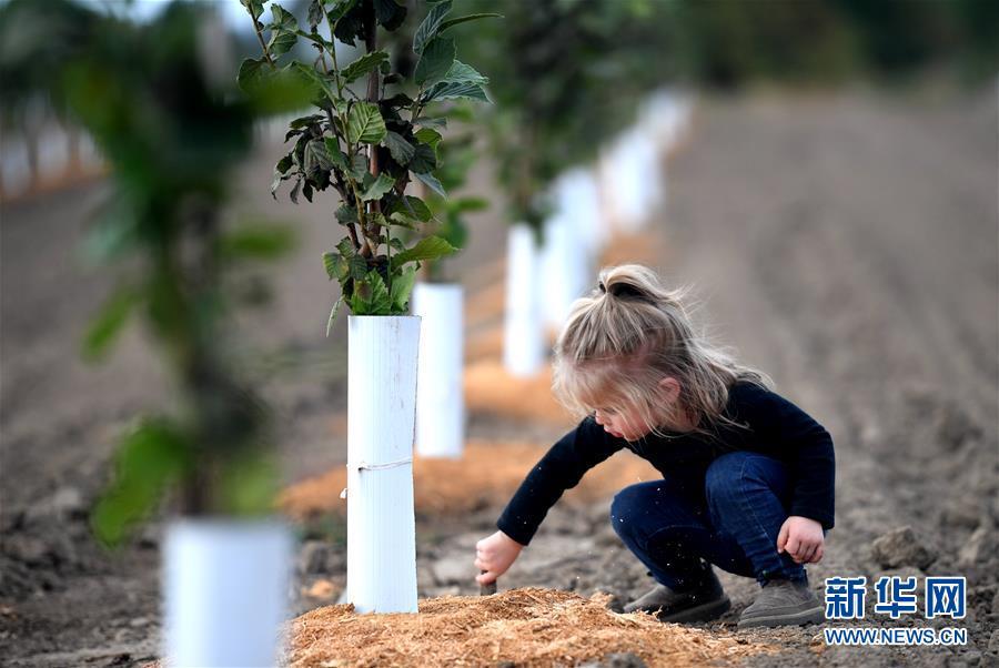 """(國際·圖文互動)(10)""""這些樹寄托著我們對中國市場的信心""""——探訪美俄勒岡州榛子果農"""