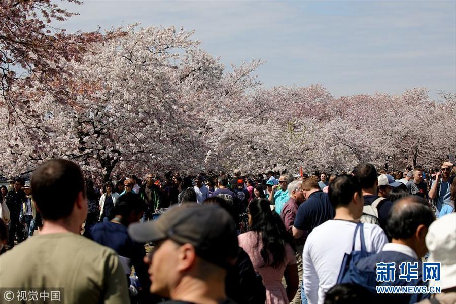 美国华盛顿樱花盛开 游人如织