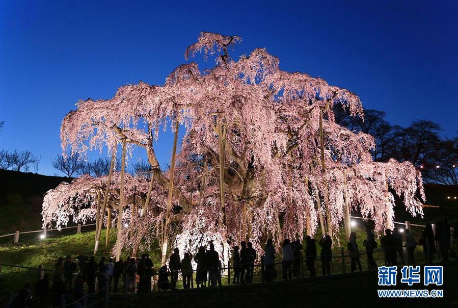日本福岛千年樱花树开花 如瀑布倾泻