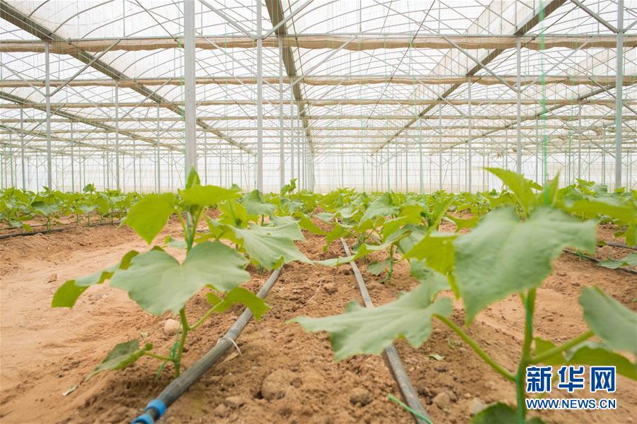 """(國際·""""一帶一路""""高峰論壇·圖文互動)(6)荒漠正在成為瓜果飄香的綠洲——記中國國機重工埃及現代農業溫室項目"""