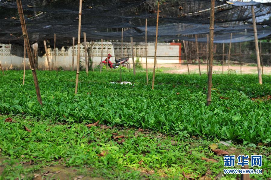 """(国际·""""一带一路""""高峰论坛·图文互动)(3)蔬菜基地诞生记——中国技术让老挝首都郊区农户受益匪浅"""