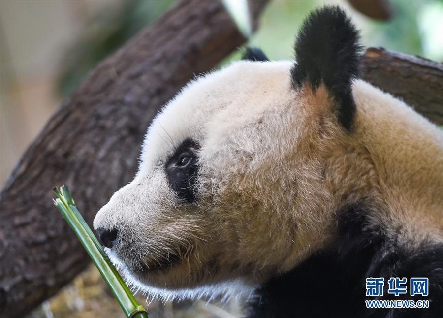"""(國際)(1)大熊貓""""園園""""正式亮相維也納"""