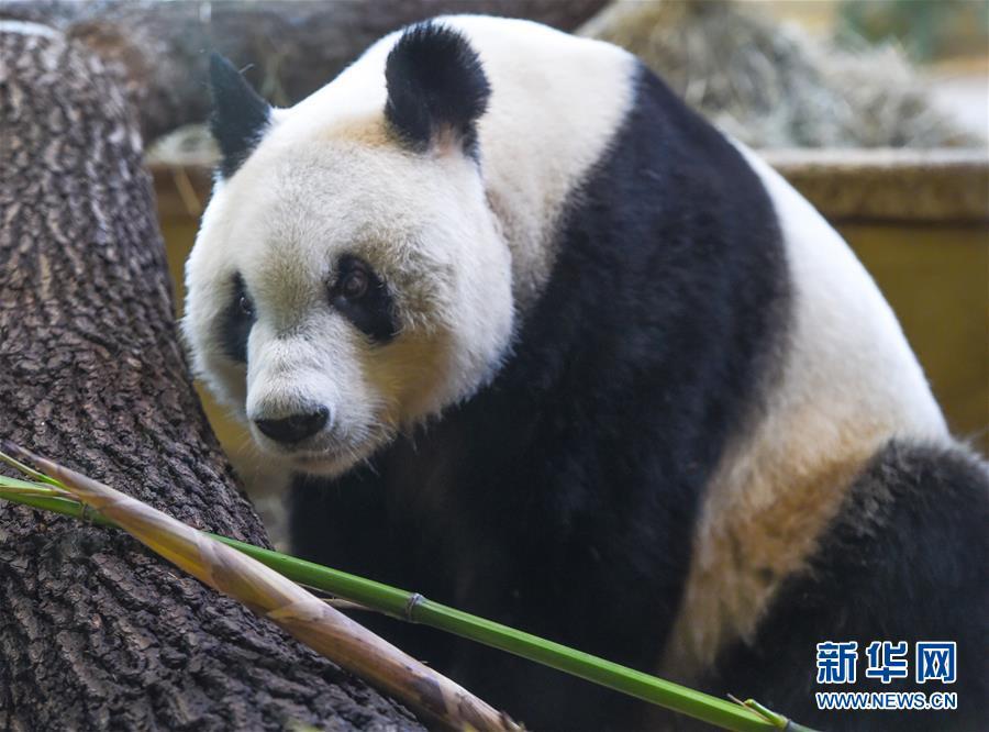 """(國際)(5)大熊貓""""園園""""正式亮相維也納"""