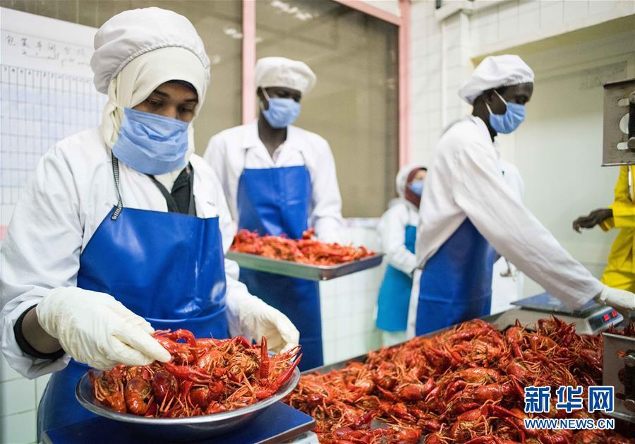 """通讯:从尼罗河畔到中国餐桌——一只""""洋""""小龙虾的36小时旅程"""