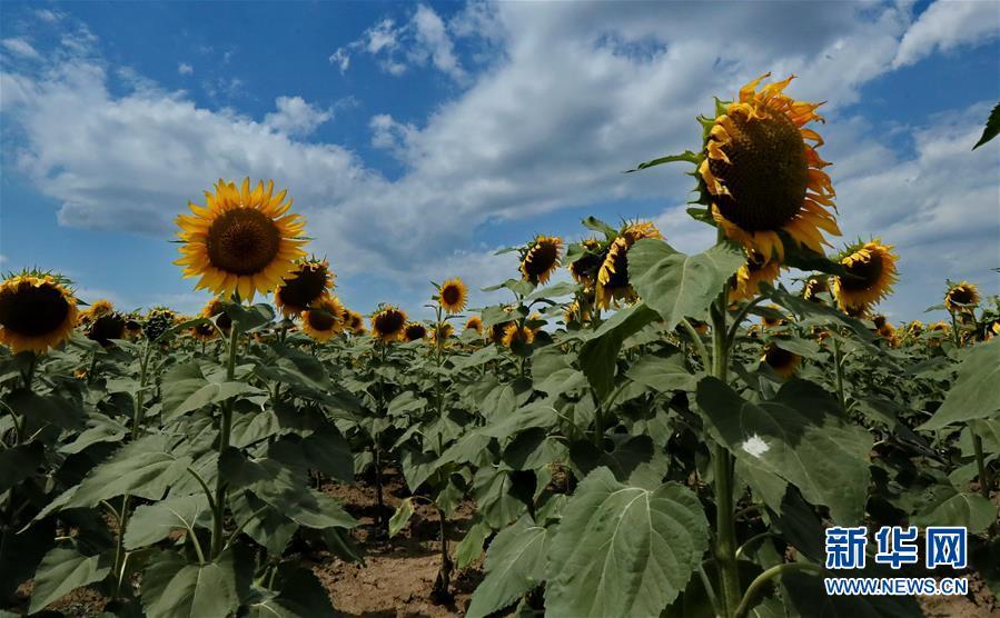 (國際)(1)烏克蘭:葵花盛放