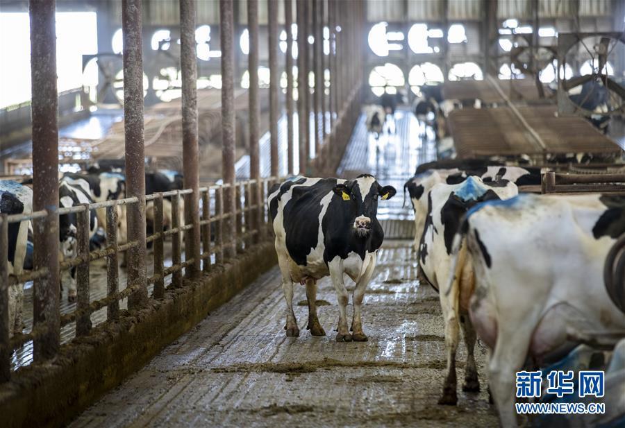 """(国际·图文互动)(4)通讯:""""希望我们的乳制品顺利装船驶向中国""""——美国奶农期盼中美贸易争端早日解决"""
