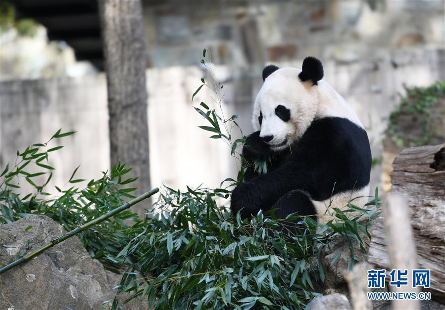 """(国际)(3)旅美大熊猫""""贝贝""""回国欢送活动启动"""