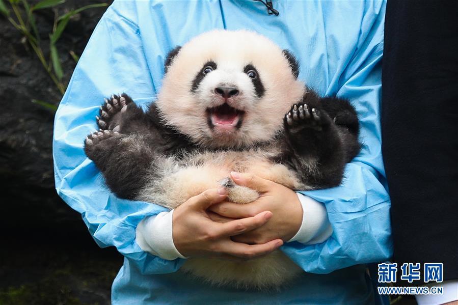 """(國際)(3)比利時出生的大熊貓雙胞胎取名""""寶弟""""""""寶妹"""""""