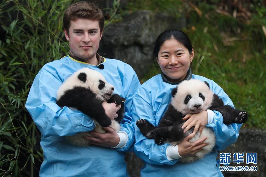 """比利时出生的大熊猫龙凤胎取名""""宝弟""""""""宝妹"""""""