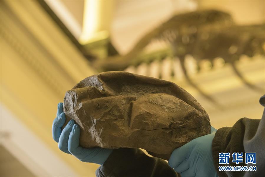 """科学家确认2011年化石是白垩纪""""海洋霸主""""沧龙蛋化石"""