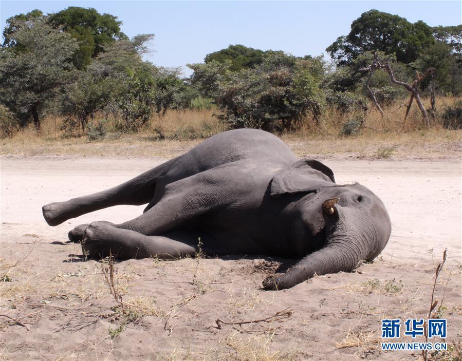 (國際)(1)博茨瓦納3個月內275頭大象離奇死亡