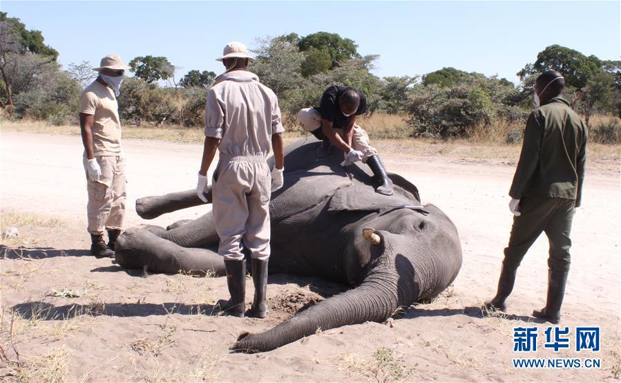 (國際)(2)博茨瓦納3個月內275頭大象離奇死亡