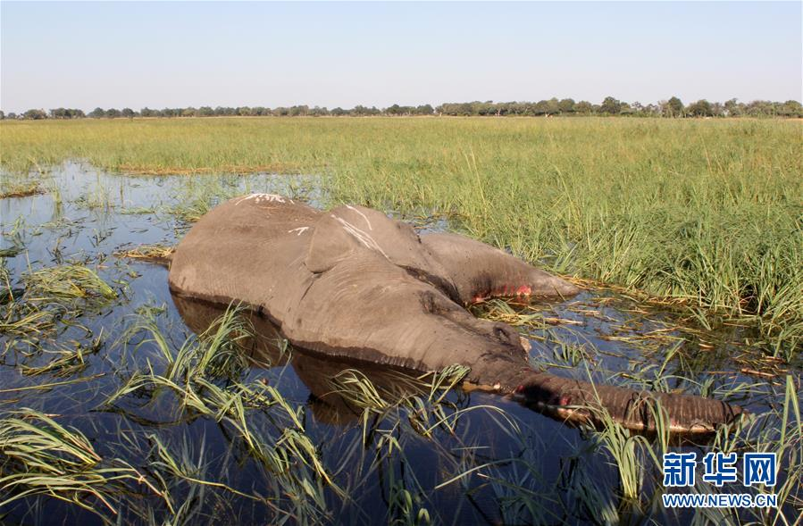 (國際)(3)博茨瓦納3個月內275頭大象離奇死亡