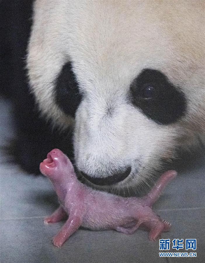 (國際)(4)旅韓大熊貓順利産下雌性幼崽