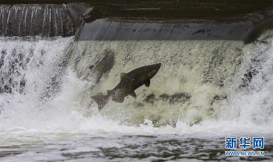 (国际)(1)加拿大:三文鱼洄游成风景