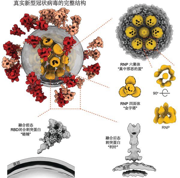 Here comes the 3D image! The new coronavirus used to look like this
