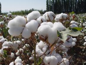 美農業部:棉花大豆難滿足潛力巨大的中國進口市場
