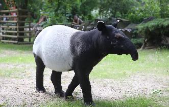 波蘭動物園的馬來貘