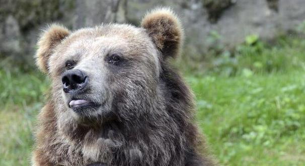捷克动物园大灰熊抱树吐舌 感觉自己萌萌哒