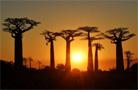 猴面包樹——馬達加斯加的驕傲