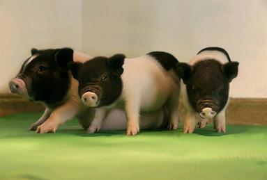"""世界首批對器官移植無""""毒""""活豬誕生"""