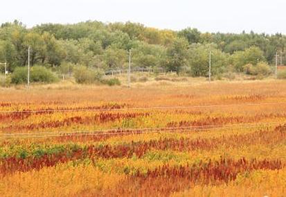 新疆兵團數千畝藜麥成熟姹紫嫣紅美不勝收