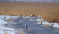 """中國""""最北""""濕地迎來今年首批候鳥"""